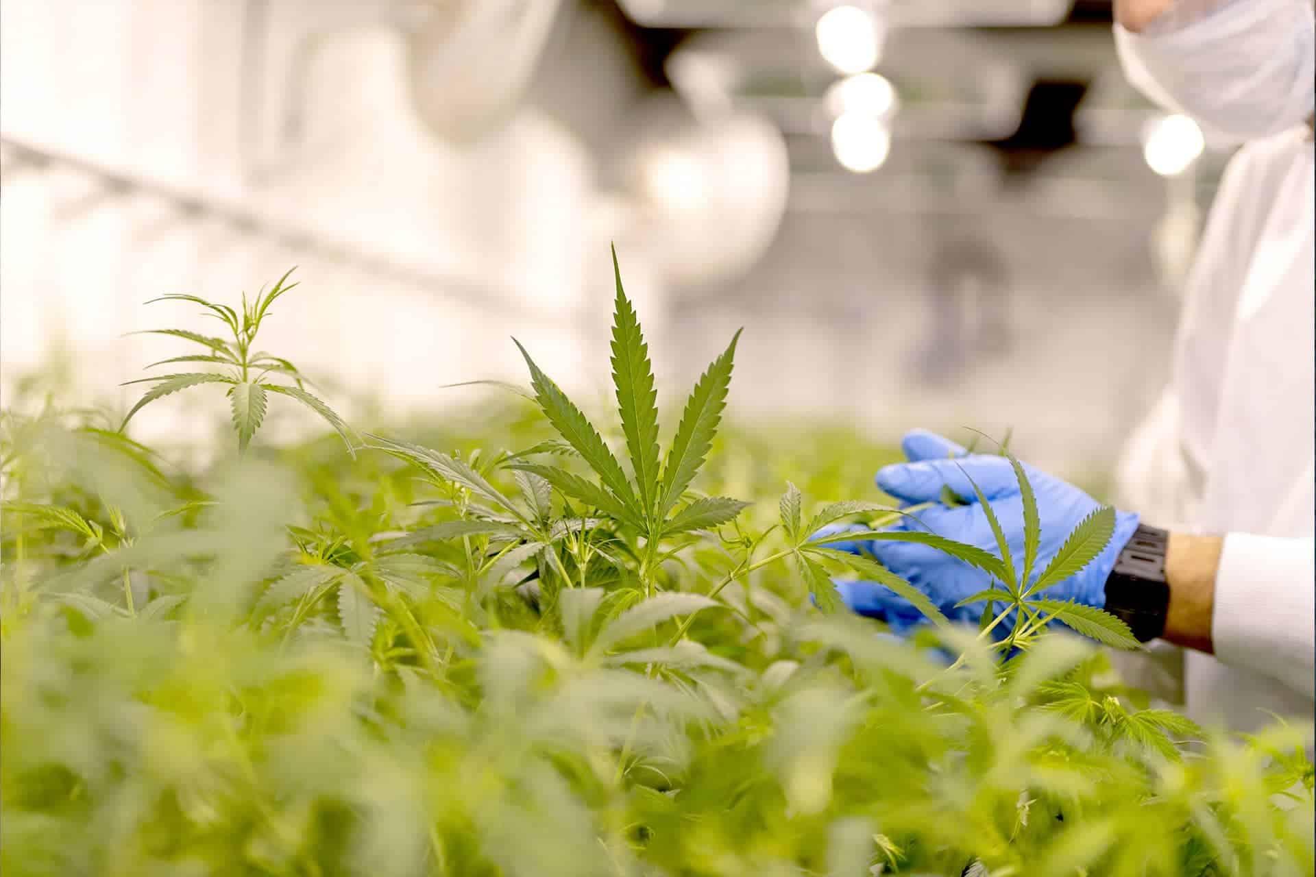 Ora Pharm secures Medicinal Cannabis License