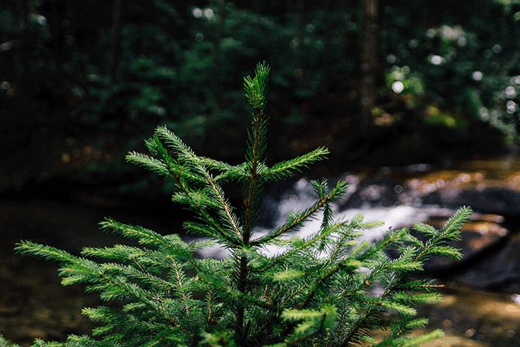 Christmas trees (Pinene)