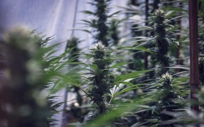 Is Medicinal Cannabis Good For the Planet? The Environmental Benefits of Cannabis