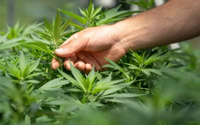 What is Medicinal Cannabis? A simple guide to the cannabis plant, cannabinoids, and terpenes