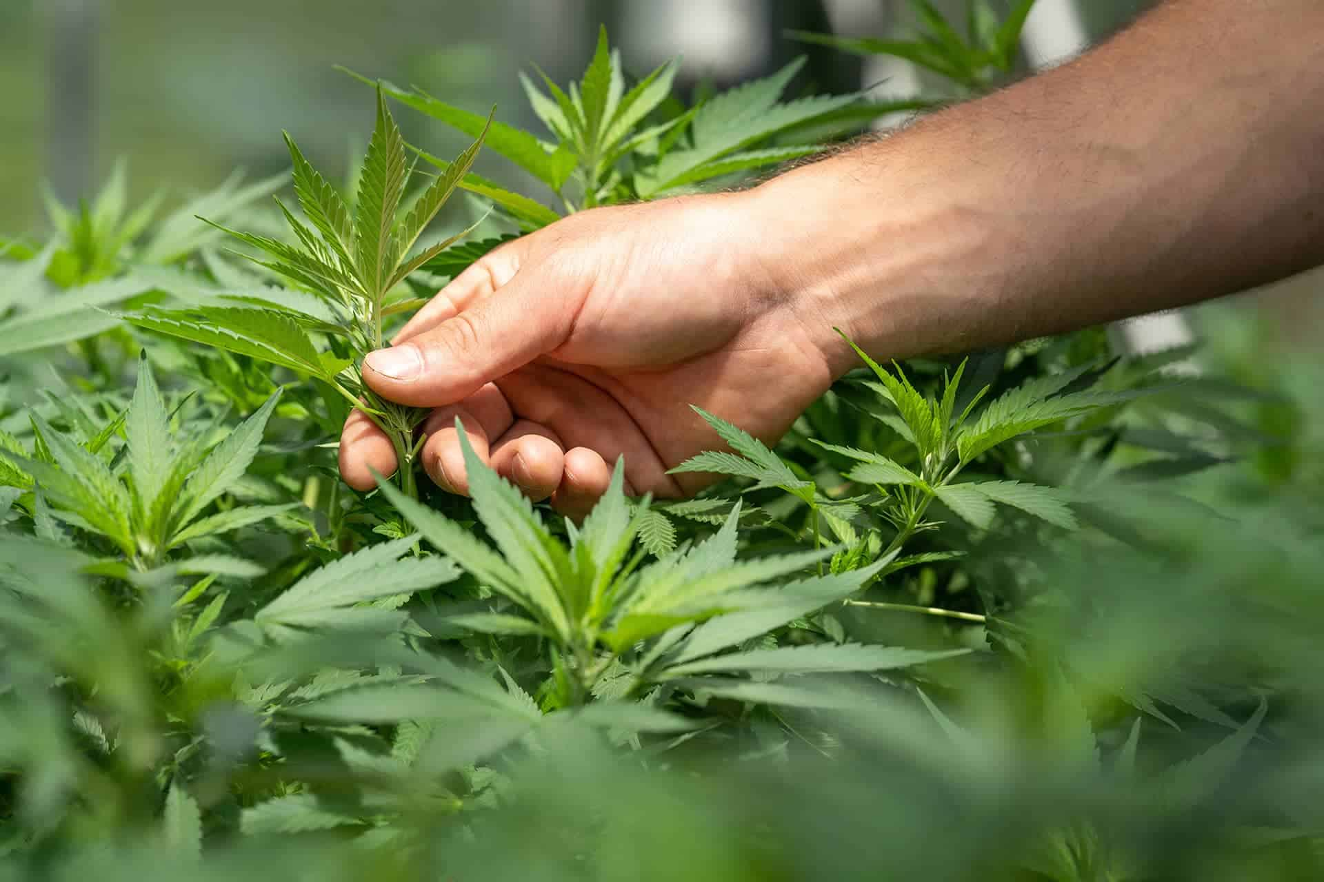 What is Medicinal Cannabis?
